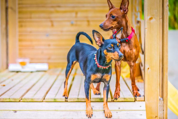 Outdoor portrait of a miniature pinscher dogs