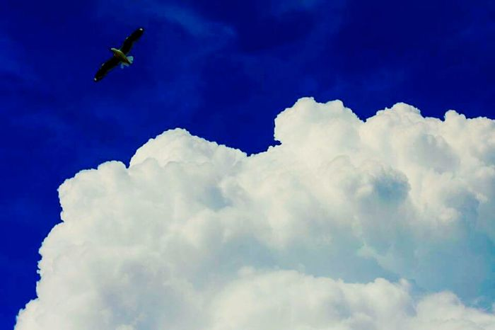 White cloud blue sky and flying bird White Fluffy Clouds Blue Sky Bird Flying High