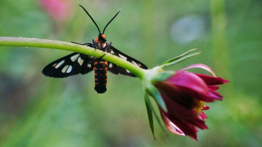 Mini Butterfly Insect Nature Animals In The Wild No People Animal Themes Animal Wildlife Fragility Flower Close-up One Animal Focus On Foreground Outdoors Beauty In Nature Day Freshness