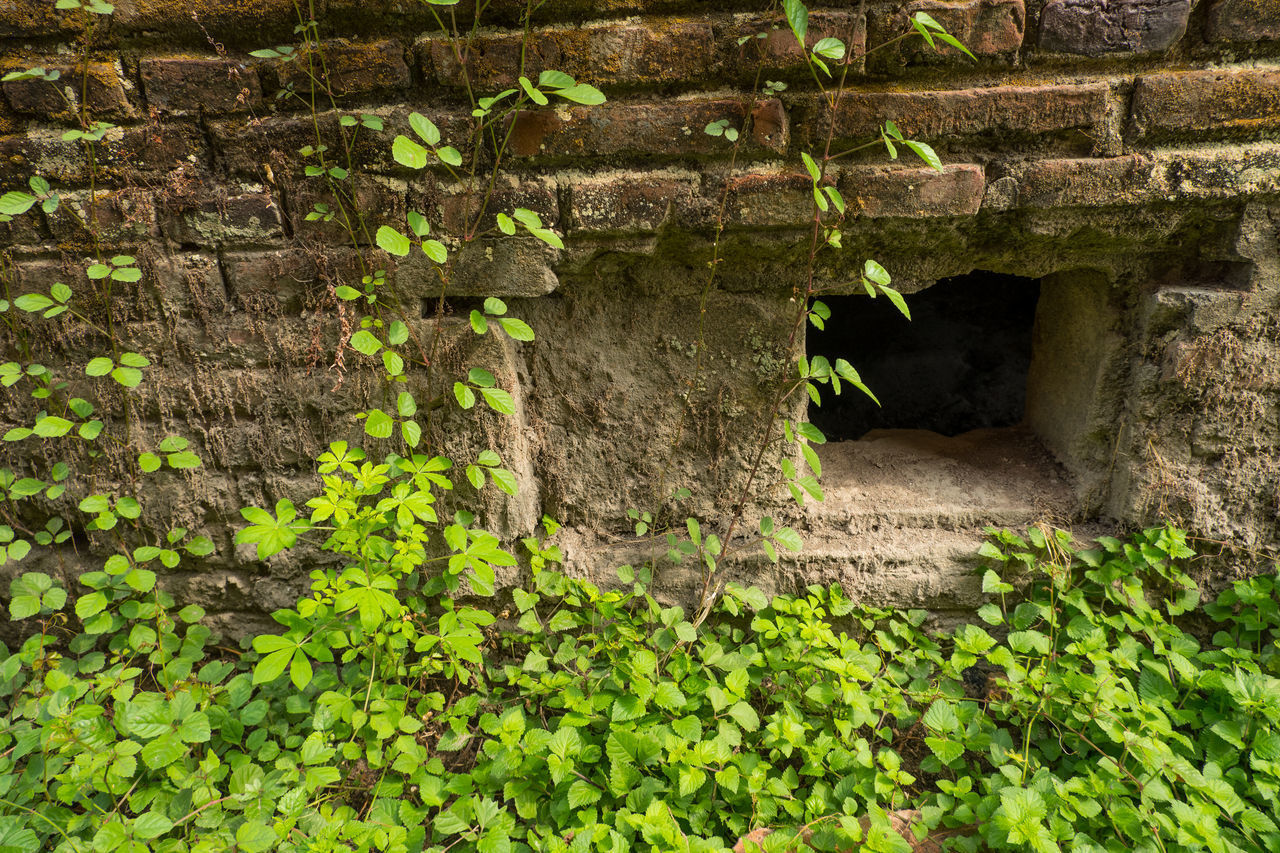 IVY GROWING ON STONE WALL IN FOREST