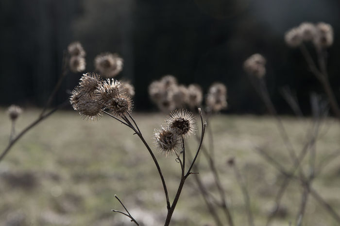 Arctium Lappa Herb Natural Seed Beauty In Nature Burdock Close-up Countryside Day Dried Plant Environment Flower Flower Head Focus On Foreground Fragility Freshness Growth Nature No People Outdoors Plant Pod Thistle Wild