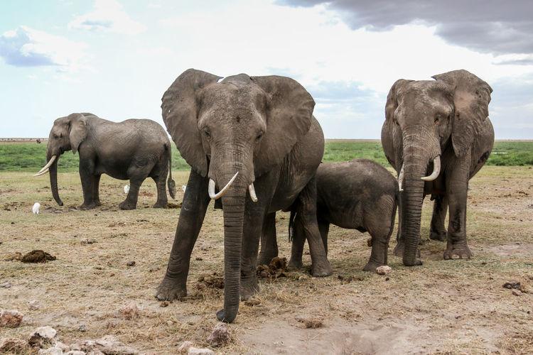 Elephants and calf on field against sky