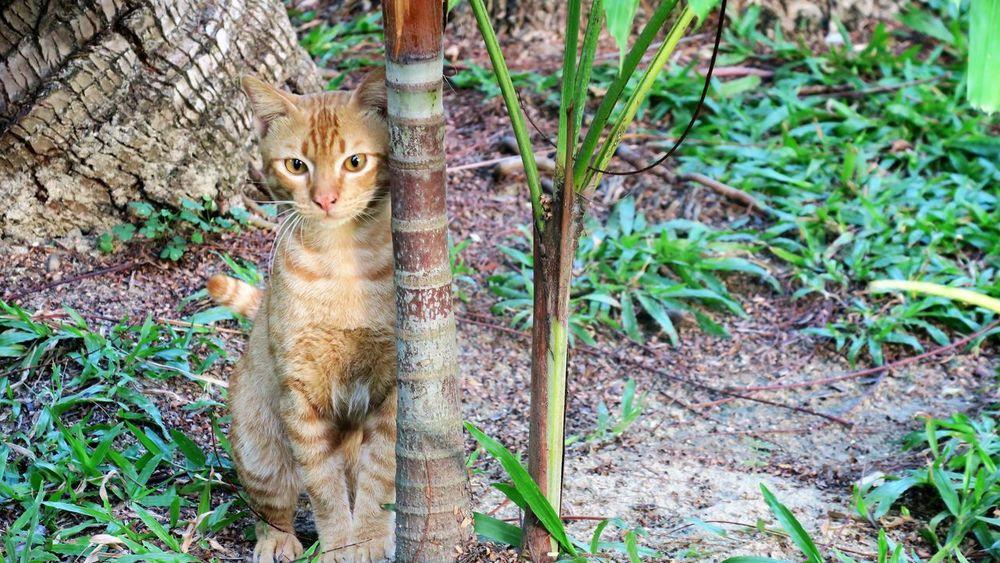 Beatuy Nature Phi Phi Thailand Tropical Climate Tropical Paradise Wildlife & Nature Wildlife Photography Cat Cats Of EyeEm Outdoors Garden Orange Cat Pet Portraits