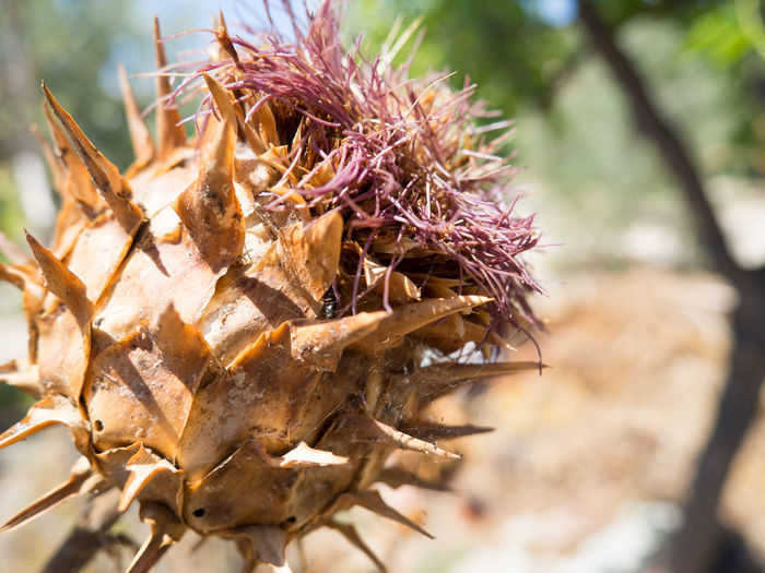 Cardoon Close-up Day Dead Plant Dried Plant Focus On Foreground Nature Plant Selective Focus Sharp Spiked