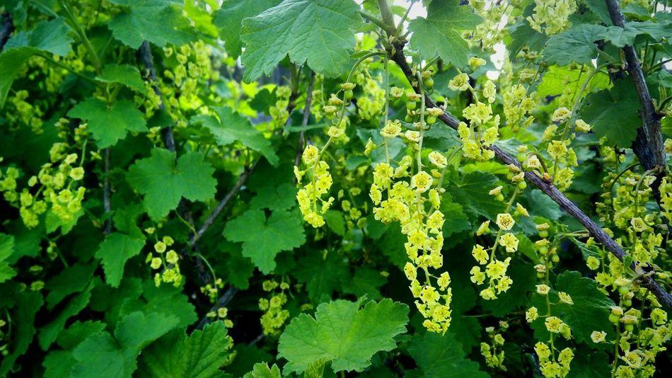 Plant Greenflowers
