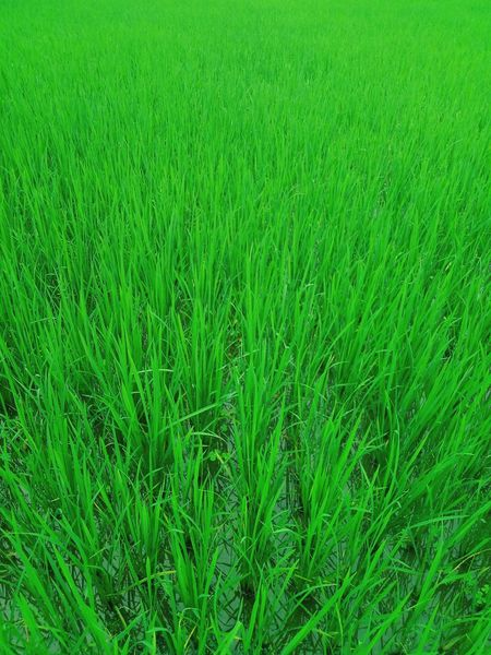 Paddy cultivation. Green Color Plant Beauty In Nature Field Grass Nature No People Day Landscape Crop  Nature Meizu M5 Close-up Meizu Mobile Photography Mobile Phone Photography Plant Leaf