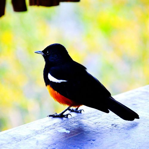 Colour Of Life Outdoors Nature Focus On Foreground Bright Bird Photography Black,orangeandwhite Perched Hide Trip Holiday Stillife