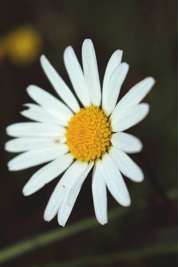 The last daisy of summer? Flowers Sweden Nature Dasiy
