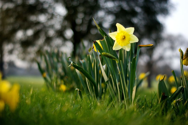 Narcissus Narcissus Flowers Plant Flowering Plant Flower Beauty In Nature Freshness Growth Yellow Green Color Nature Field Grass Springtime Flower Head Selective Focus Sashalmi Nárcisz Virágok Fragility Land Blade Of Grass