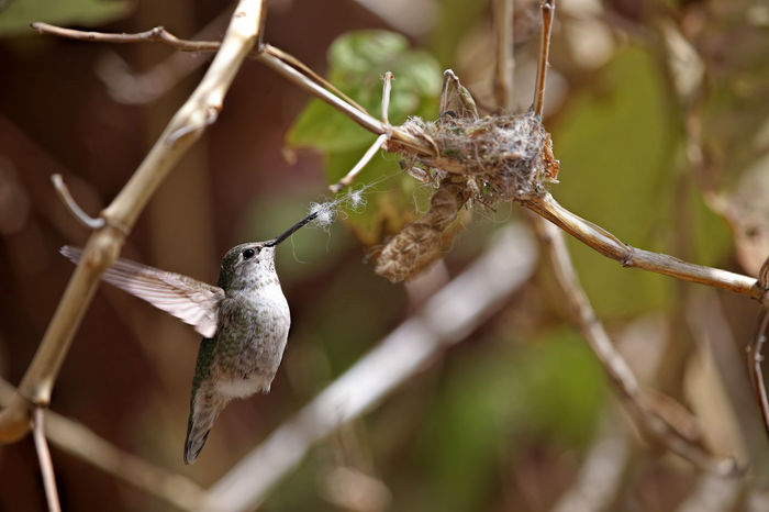 Nest building hummingbird Anna's Hummingbird Nesting Animal Themes Animal Wildlife Animals In The Wild Birds Close-up Day Hummingbirds Mother To Be Nature Nest Building No People One Animal Outdoors