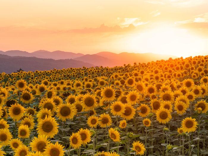 Scenic view of sunflower field against orange sky