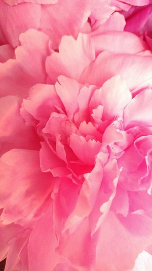 Pink Color Flower Peony  Rose - Flower Backgrounds Petal Full Frame Nature Flower Head No People Softness Plant Textured  Close-up Rose Petals Beauty In Nature Fragility Pastel Colored Day Freshness
