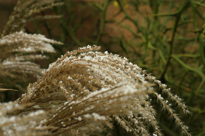 straw covered with snow Bokeh Botany Close-up Dry Growth Nature No People Plant Snow Straw Winter