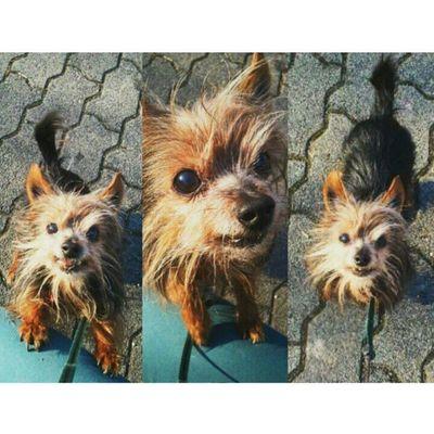 Dog Terrier Mycutie Love <3