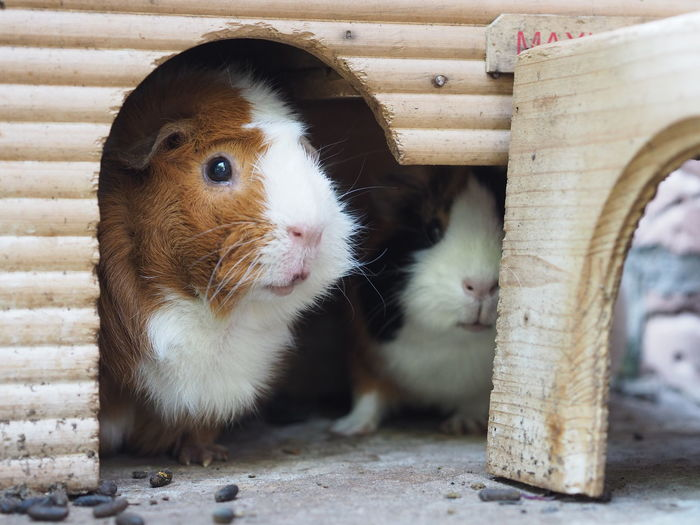 Guinea Pig Animal Themes Close-up Cute Cute Animals Domestic Animals Domestic Rodent Front View Mammal Meerschweinchen No People Pet Rodent Young Animal