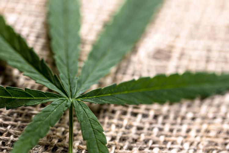close up on cannabis marijuna leaf on sack cloth use for medical purpose Cannabis.👌🍁 Cannabis Leaf Marijuanas Marijuana - Herbal Cannabis Sack Cloth Macro Photography Macro Beauty Medical Cannabis Thc CBD Cbn