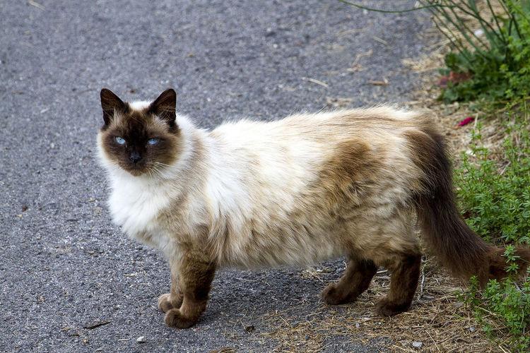 A similar Burmese cat during a walk Animal Themes Blu Eyes Cat Burmese Cat Day Domestic Animals Domestic Cat Feline Full Length Mammal No People One Animal Outdoors Pets