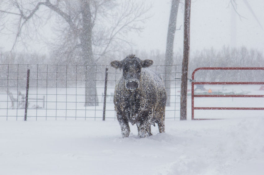 Agriculture Black Angus Cattle Yard Farm Gate Livestock Animal Black Blizzard Canon60d Canonphotography Cattle Cow Domestic Animals Extreme Weather Fence Outdoors Snow Snow Storm Snowing Spring Standing Tree