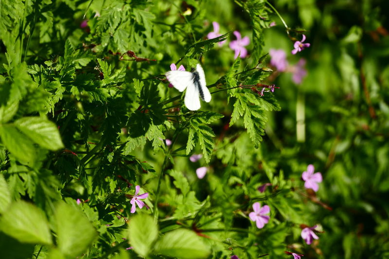 Summer in Ireland:) Beauty In Nature Blooming Blossom Botany Butterflies Butterfly Close-up Day Flower Flower Head Focus On Foreground Fragility Freshness Green Color Growth In Bloom Leaf Nature No People Outdoors Petal Plant Purple Selective Focus Showcase June