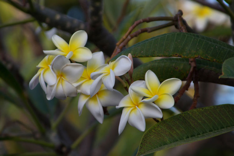 Alturas de Banao Alturas De Banao Beauty In Nature Beauty In Nature Blooming Close-up Cuba Cuba Collection Day Flora Flower Flower Head Flowers Fragility Frangipani Freshness Growth Nature No People Outdoors Petal Plant Tourist Destination Travelling Photography Yellow