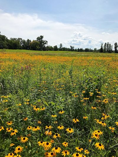 Blackeye Susan, field of flowers, sea of gold, allergies, beautiful, stop and smell the flowers Paint The Town Yellow