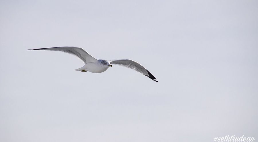 Soaring Seagull Flying Bird Spread Wings Animals In The Wild Clear Sky Animal Themes One Animal Low Angle View Mid-air Nature No People Day Outdoors Motion Animal Wildlife Black-headed Gull Sethtrudeau Photography Soaring Bird Photography Bird Audobon Beach Life Oceanlife Water Bird