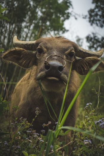 Buffalo Water Buffalo Buffalo Animal Themes Animal Animals In The Wild Mammal One Animal Animal Wildlife Vertebrate No People Nature Day Tree Plant Outdoors Animal Body Part Looking At Camera Portrait Close-up Focus On Foreground Domestic Animals Animal Head