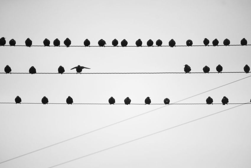 Animal Themes Bird Birds Blackandwhite Cable Clear Sky Day Flock Flock Of Birds Flock Of Birds In A Row Large Group Of Animals Low Angle View Nature No People Outdoors Perching Power Lines Power Lines Against Sky Sky Starlings