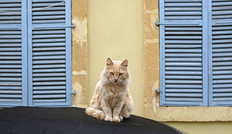 Cat sitting on a car in front of a yellow background