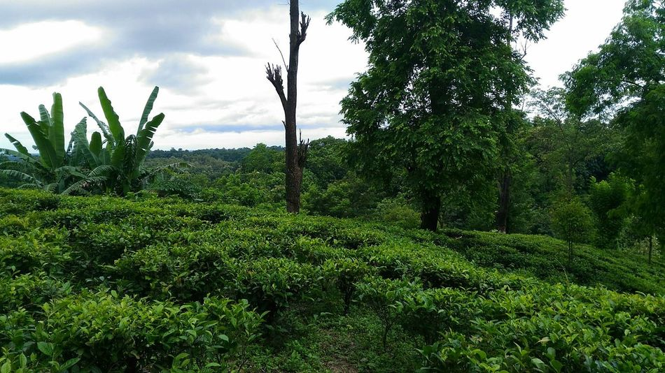 Tea Cultivation  Garden India Northeast Northeastindia Tripura Unakoti Kailashahar Home Tea Garden Green Color Agriculture Tree Nature Beauty In Nature Cloud - Sky Landscape Freshness Green Color Plant Scenics Lush Foliage Tranquility Tea Crop The Great Outdoors - 2017 EyeEm Awards