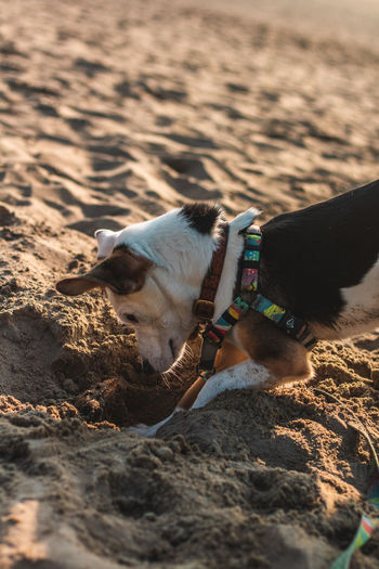 First time on a beach One Animal Mammal Domestic Animals Dog Canine Domestic Pets Vertebrate Beach Seaside Playing Dogs Puppy Ears Happy Jumping Looking At Camera Animal Animal Themes Land Nature Sand Day Livestock Outdoors Collar No People Pet Collar Animal Head  Herbivorous