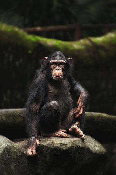 Chimp!! Animal Animal Wildlife One Animal Mammal Animals In The Wild Portrait Looking At Camera No People Nature Full Length Outdoors Close-up Day Chimpanzee Chimpmunk ChimpsInJapan Chimpanzees