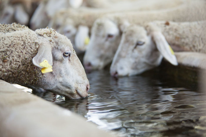 sheeps Animals Drink Farm Flock Grass Graze Hill Lamb Mountain Neture Sheep Sheep Ranch Sheeps Summer Thirsty  Whool