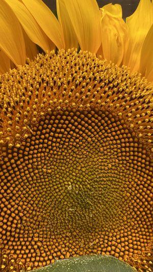 Full frame shot of sunflower