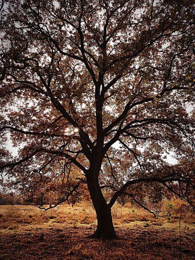 Tree Autumn Tranquility Beauty In Nature Netherlands Hogeveluwe