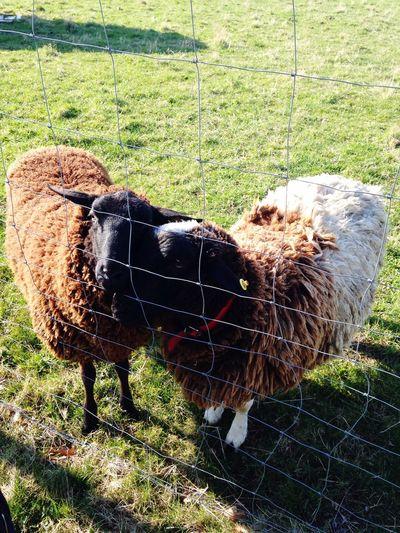 Sheeps Nature Cheese! Sun