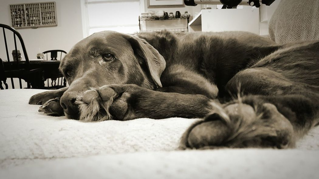 Pets Dog Relaxation Domestic Animals Close-up No People Old Girl Labrador Retriever Pet Portraits