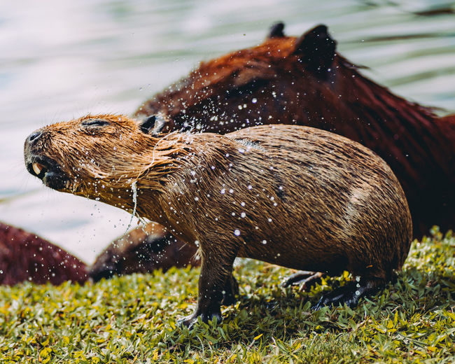 Capybara Animals In The Wild Baby Beautiful Brazil Capybara Capybaras Family Grass Natural Surroundings Nature Nature Photography Shaking Animal Animal Wildlife Animals In Nature Capybaras In The Wild Cute Eyes Furry Hairy  Lake Lake View Lakeshore Water Waterfront