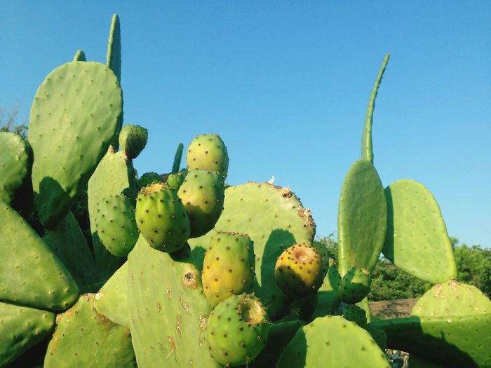 Cactus Succulent Plant Green Color Plant Prickly Pear Cactus Growth Nature Sunlight Spiked Day Blue Clear Sky Close-up Outdoors Tranquility No People Beauty In Nature