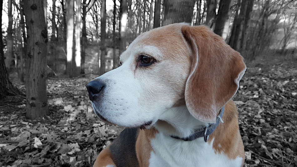 EyeEm Nature Lover EyeEm Gallery EyeEmNewHere Forrest Photography Moritz Animal Themes Beagle Close-up Cold Temperature Day Dog Domestic Animals Eye4photography  Mammal Nature No People One Animal Outdoors Pet Collar Pets Portrait Puppy Snow Winter