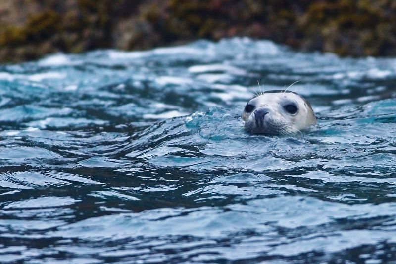 Grey seal surfacing from its dive Sealife Fauna Wildlife Grey Seal Animal Animal Themes One Animal Water Animal Wildlife Animals In The Wild Vertebrate Nature Mammal Seal - Animal Sea