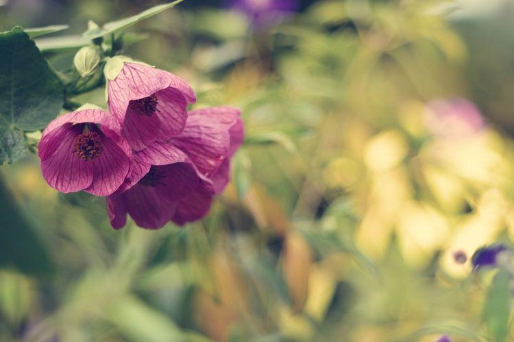 EyeEm Best Shots EyeEm Nature Lover EyeEm Gallery Eyeem4photography Beauty In Nature Greenery Flower Head Flower Pink Color Petunia Petal Purple Close-up Plant In Bloom Blossom Iris - Plant