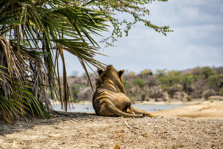 Lion in Selous National Park Mammal Animal Themes Animal One Animal Tree Vertebrate Feline Pets Nature Relaxation Plant Cat Domestic Animals Domestic Day No People Land Sitting Focus On Foreground Sky Lion Tanzania National Park Selous
