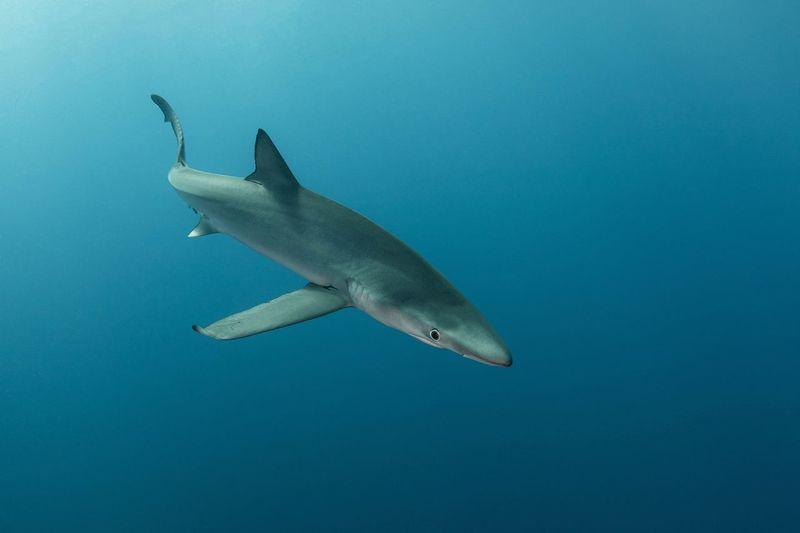 Blue shark swimming in sea