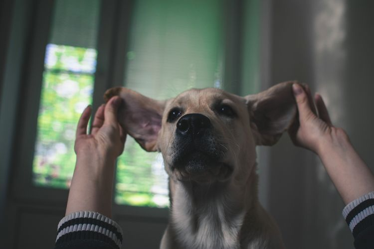Cropped Image Of Hands Holding Dog Ears At Home