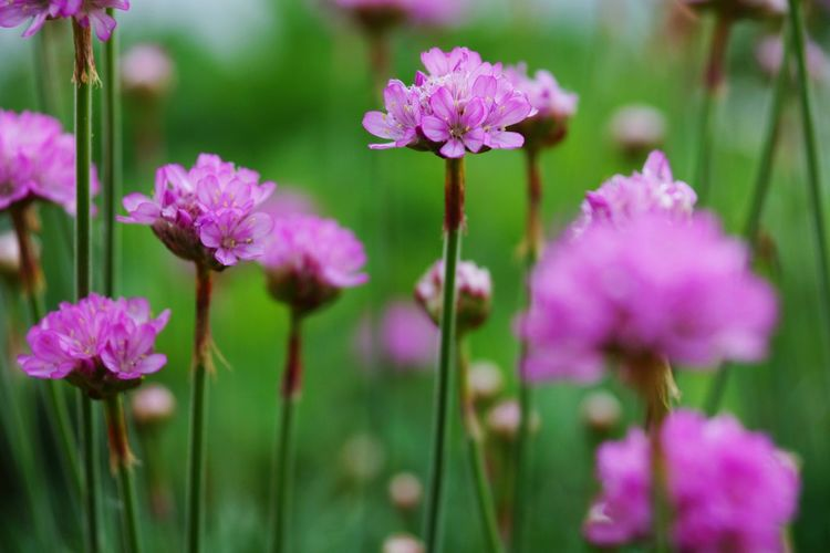 Close-up of pink flowers blooming on field