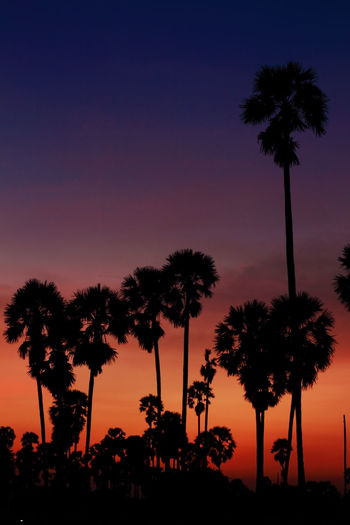 Sugar palm sunset in Thailand Silhouette Tree Sky Plant Palm Tree Tropical Climate Sunset Nature Beauty In Nature Growth Orange Color Scenics - Nature No People Low Angle View Tranquility Night Outdoors Tranquil Scene Tall - High Dusk Coconut Palm Tree Tropical Tree Palm Leaf