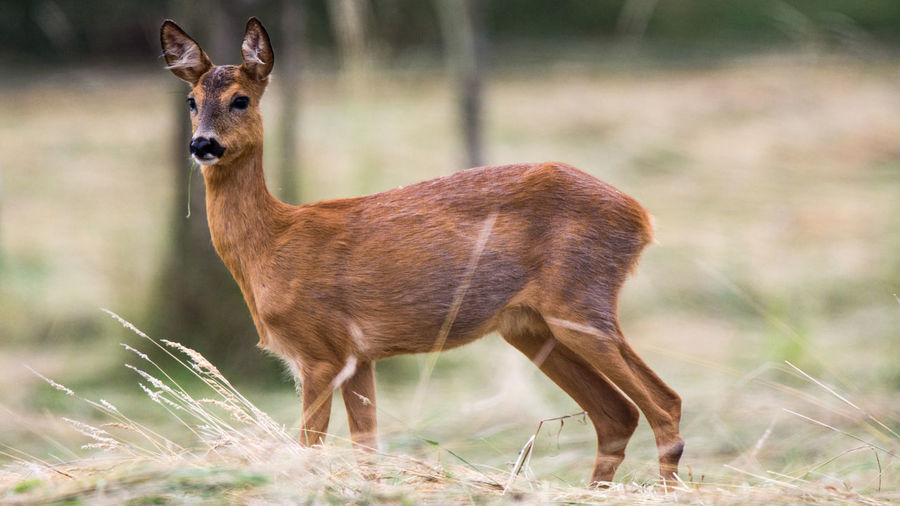 Roe Deer Reh Rehwild Roe Deers Animal Animal Themes Animal Wildlife Animals In The Wild Mammal One Animal Vertebrate Field Herbivorous Day Deer