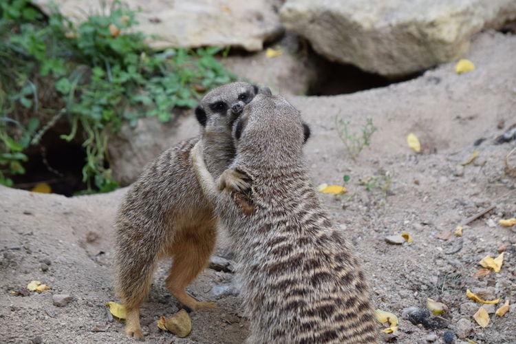 Two meerkats fighting