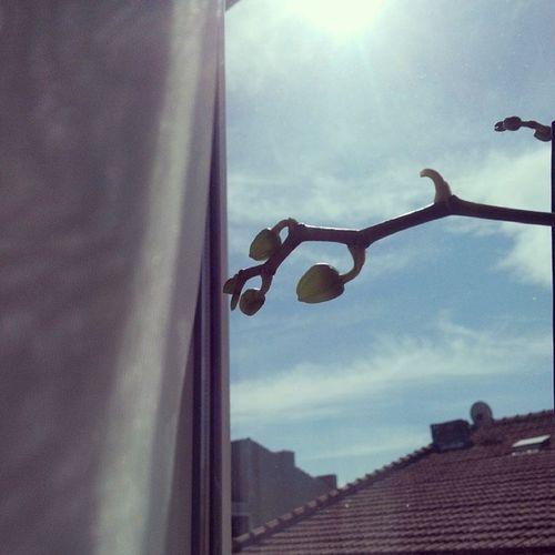 Bahar geliyor canlanın hain bünyeler :) Pencerekenarı ... O da benim gibi Gunes 'i seviyor . Bahar çiçek Tomurcuk Orkide Gunaydin Bulut Gokyuzu Sunshine Window Flower Orchid Goodmorning Bud Spring Beauty Nature City Picofthesmile Picofthespring
